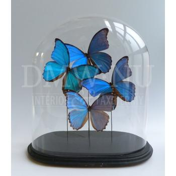 Antique glass dome with mounted butterflies - Morpho didius