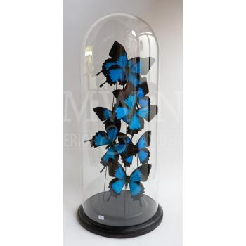 Antique glass dome with mounted butterflies - Papilio ulysses