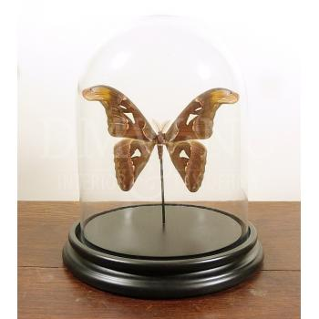 Glass dome with mounted butterfly - Attacus atlas - Atlas moth