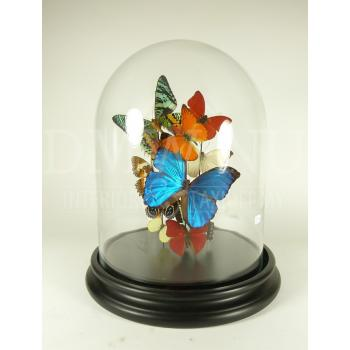 Glass dome with a variety of mounted butterflies (A)