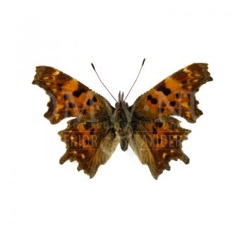 Polygonia c-album - comma Butterfly