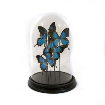 Modern glass dome with mounted butterflies - Papilio ulysses ulysses