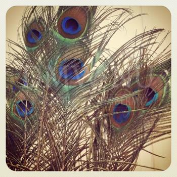 50 x Peacock feathers (With eye) ± 100 cm (F7)