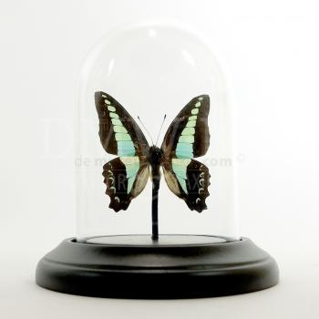 Glass dome with mounted butterfly - Graphium sarpedon