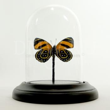 Glass dome with mounted butterfly - Callicore sp.