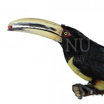 Mounted Pale-mandibled aracari