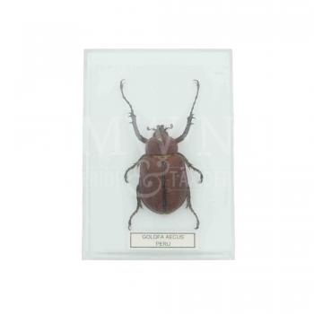 Insect in plastic box - large