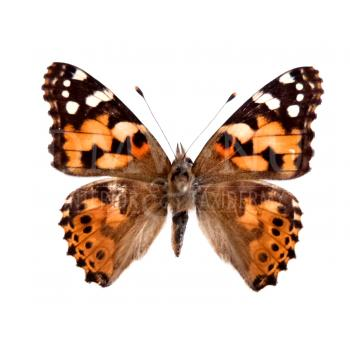 Vanessa cardui - painted lady papered