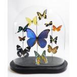 Antiek glazen stolp met  diverse opgezette vlinders