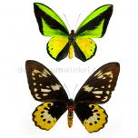 Ornithoptera goliath samson (male and female)