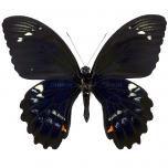 Papilio gambrisius - onderkant