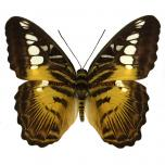 Parthenos sylvia - upperside