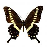 Papilio lormieri
