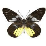 Delias henningia - upperside