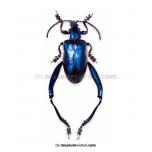 Sagra longicollis - blue
